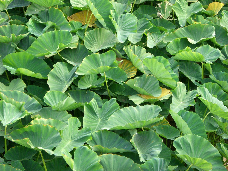 Kalo Leaf